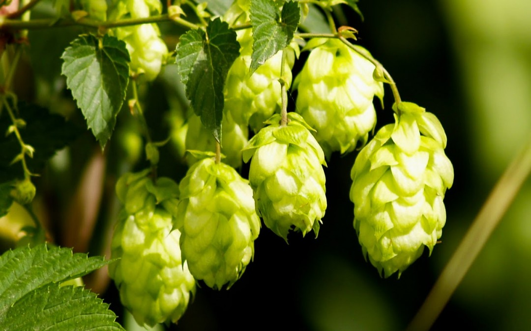 What is the Most Neutral Hop?